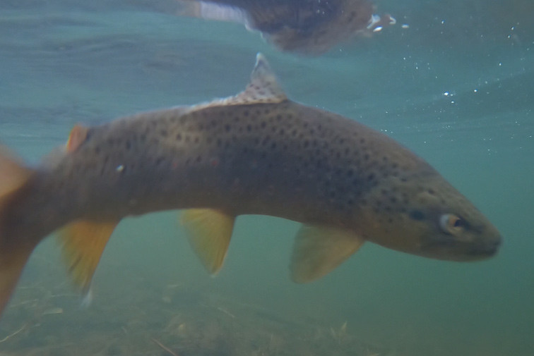 Mad Cutthroat Trout