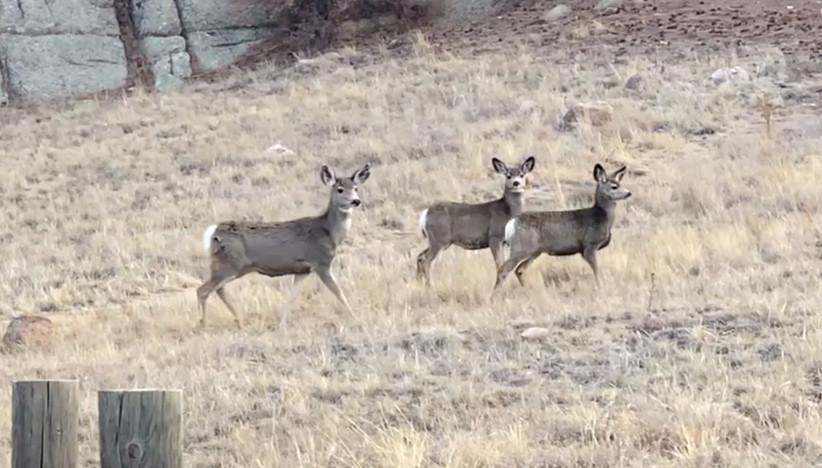 Eleven Mile Canyon Mule Deer