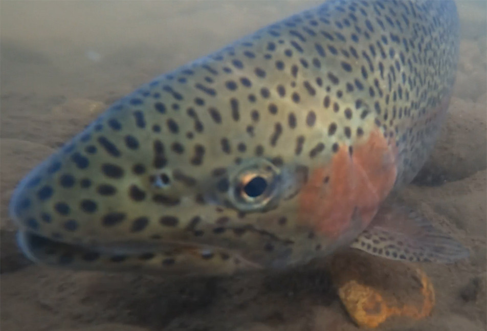 Rainbow Trout Released into the River