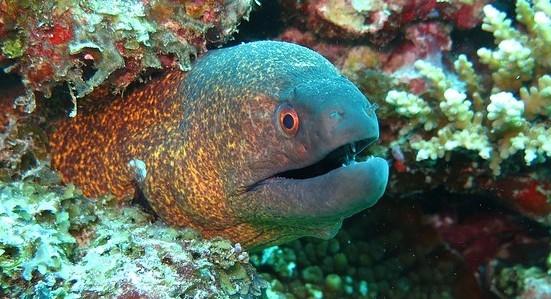 Moray Eel - Coastal Marine Ecosystem