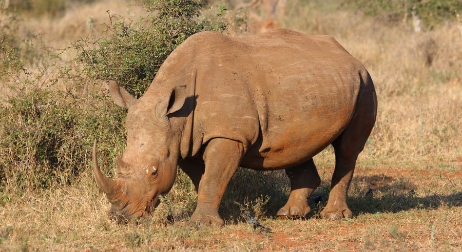 Animals living in Kenya-Rhino