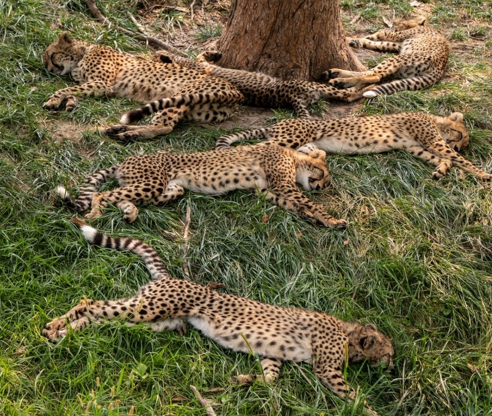 Animals Living in Kenya-Cheetah