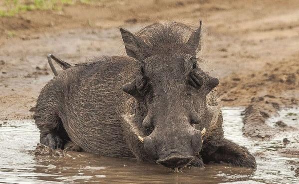 Ugly Five - Warthog