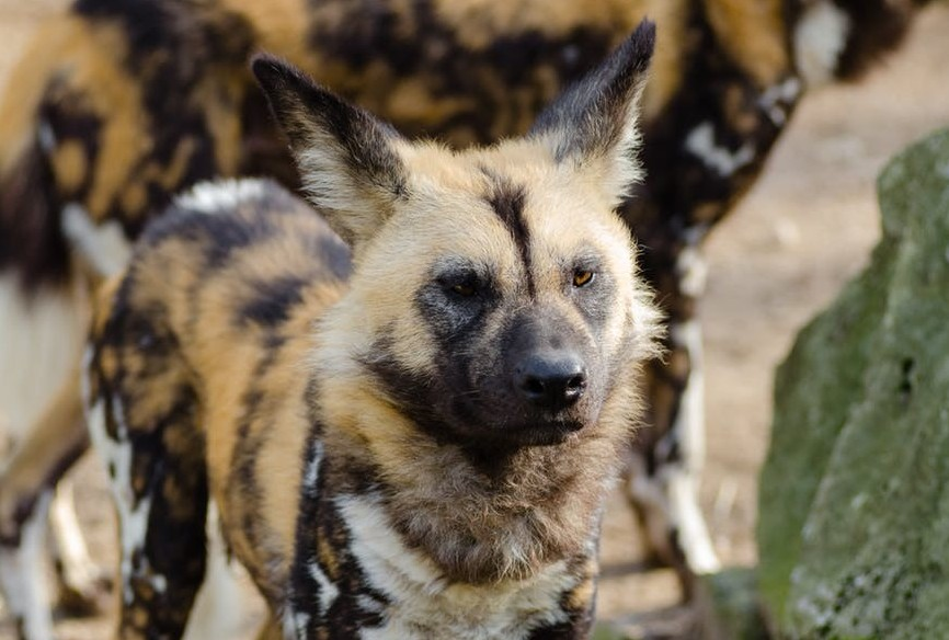 Animals Living in Kenya-WildDogs