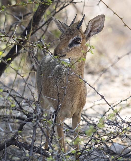 Wild Kenya - Dikdik
