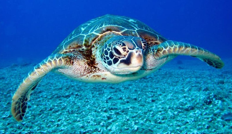 Green sea turtle - Coastal Marine Ecosystem