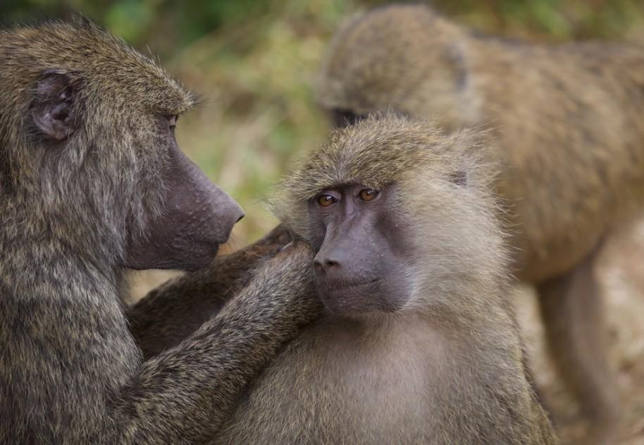 Wild Kenya - Baboon
