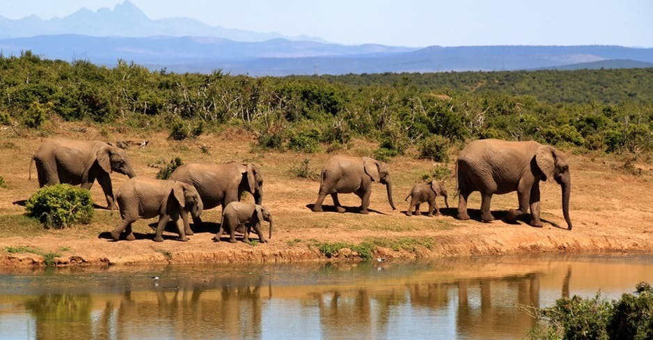 Animals Living in Kenya-Elephants