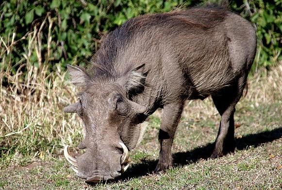 Wild Kenya - Warthog