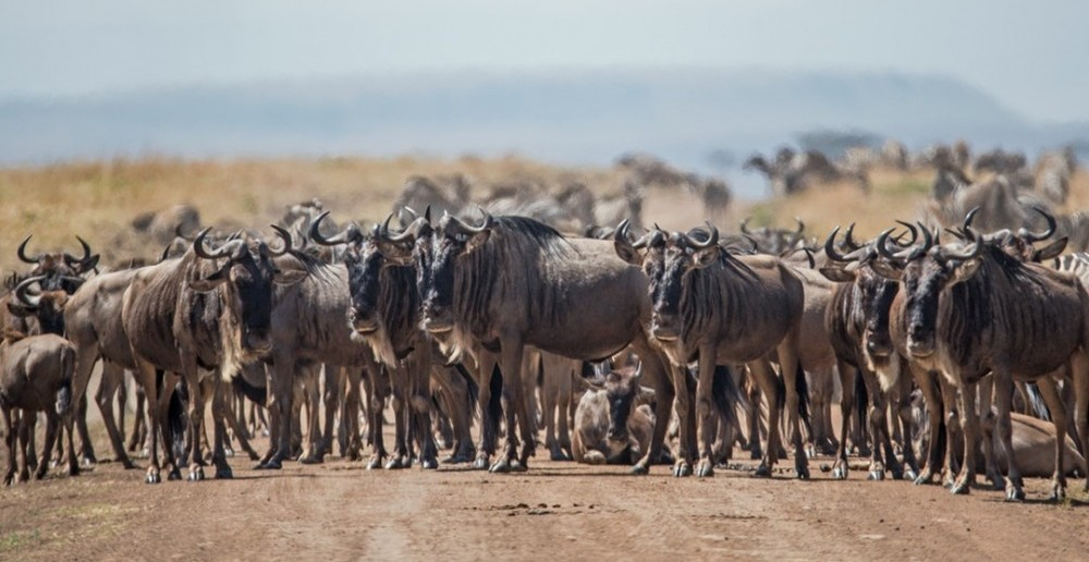 Wild Kenya - Wildebeest