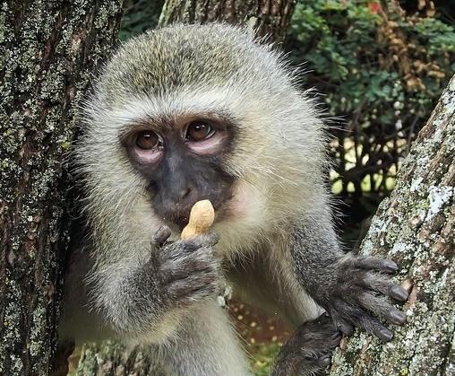 Wild Kenya - Vervet monkey