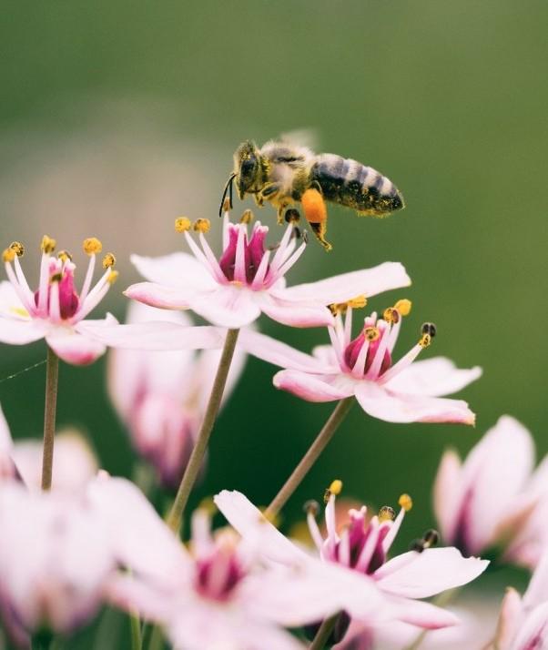 Bees - Ecosystem pollinators