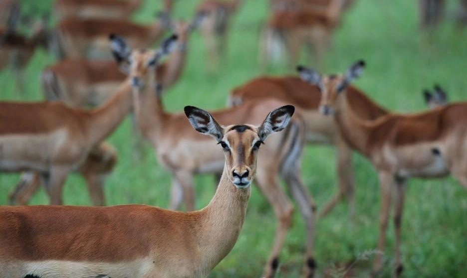 Wild Kenya - Impala