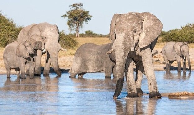 African Elephants and the Ecosystem