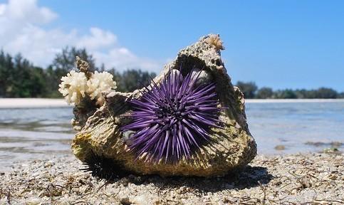 Sea Urchin - Coastal Marine Ecosystem