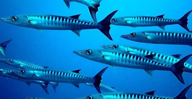 Barracuda - Coastal Marine Ecosystem