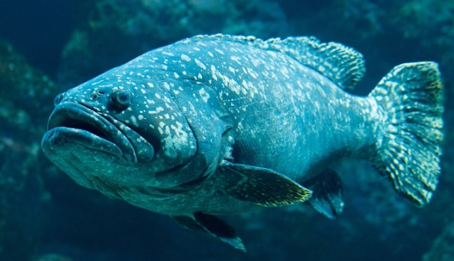 Grouper fish - coastal ecosystem