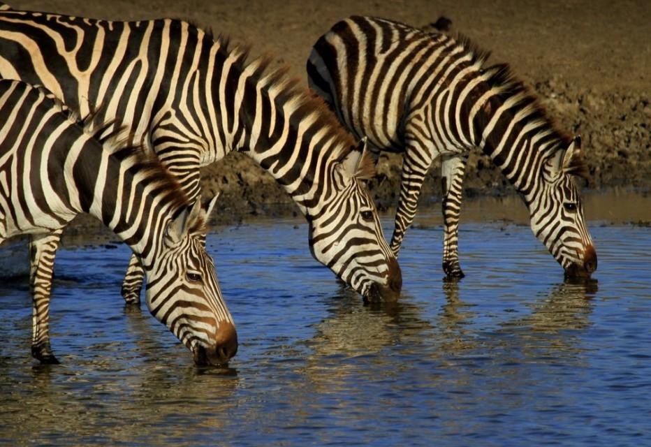 Wild Kenya - Zebra