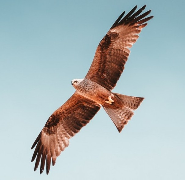 Black Kite - Coastal Marine Ecosystem