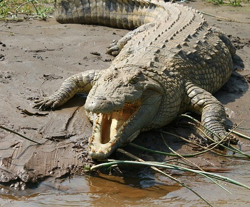 Animals Living in Kenya-Crocodile