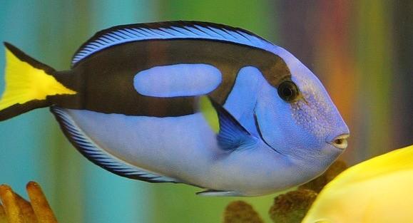 Blue tang - Coastal Marine Ecosystem