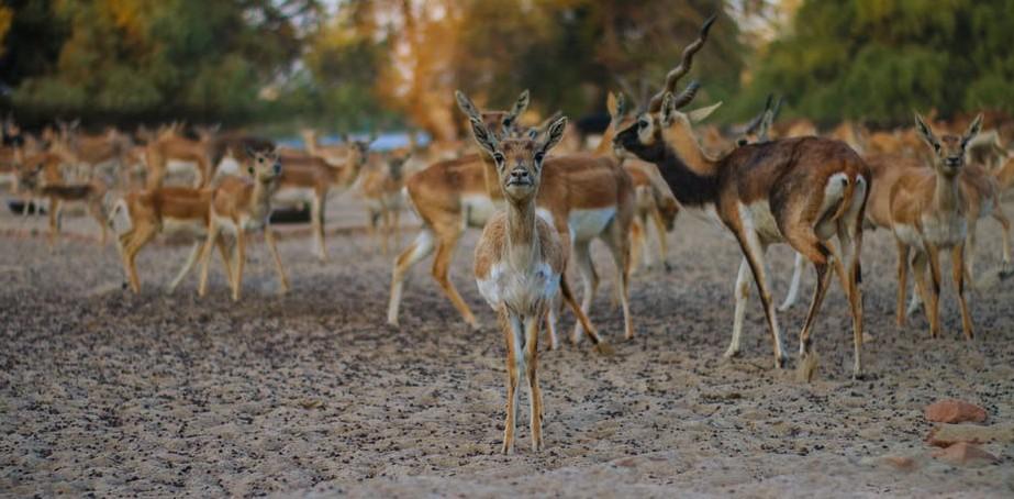 Wild Kenya - Thomson Gazelle