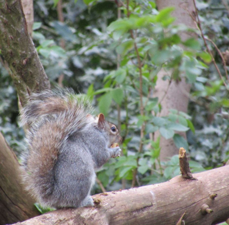 Squirrel in Tree Eating
