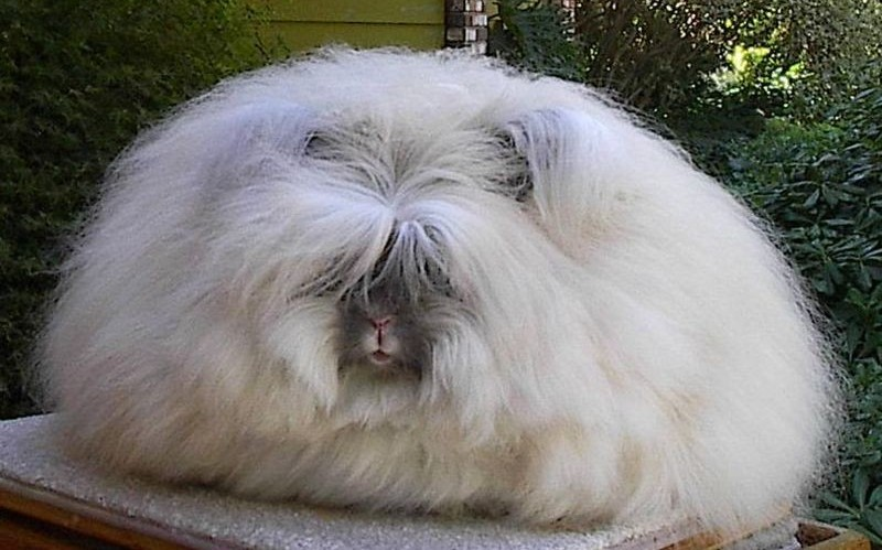 Angora Rabbit Fur