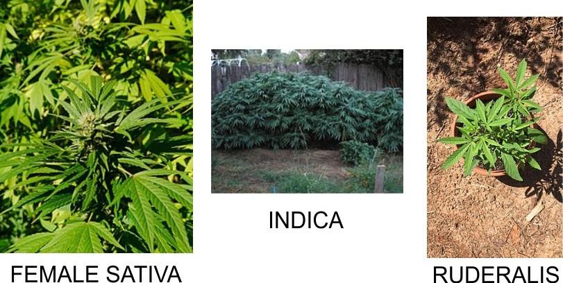 Sativa, Indica, ruderalis cannabis plants