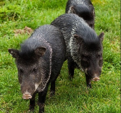 photo of wild hogs