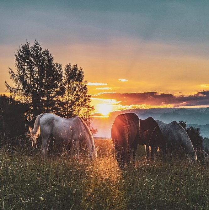 Horses grazing in the sunset
