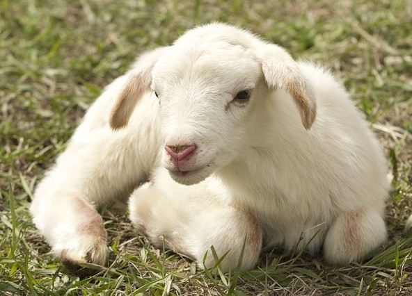 Lamb curled up on grass