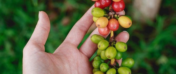Green Coffee Beans Extracts for Weight Loss Medication