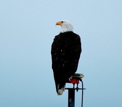 Bald Eagle in Seward Alaska