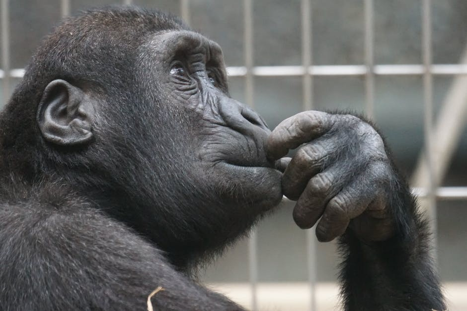 a ridiculously cute photograph of a gorilla pondering the existence of essential oil diffusers and their massive therapeutical impact on human society