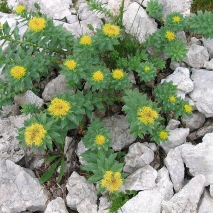 Wild Rhodiola Rosea