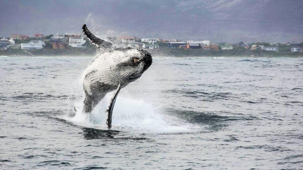 Whale Watching Gansbaai