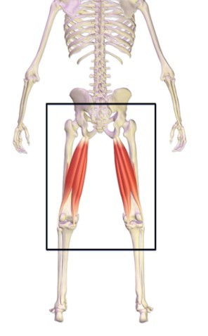 Hamstrings are the most important leg muscles