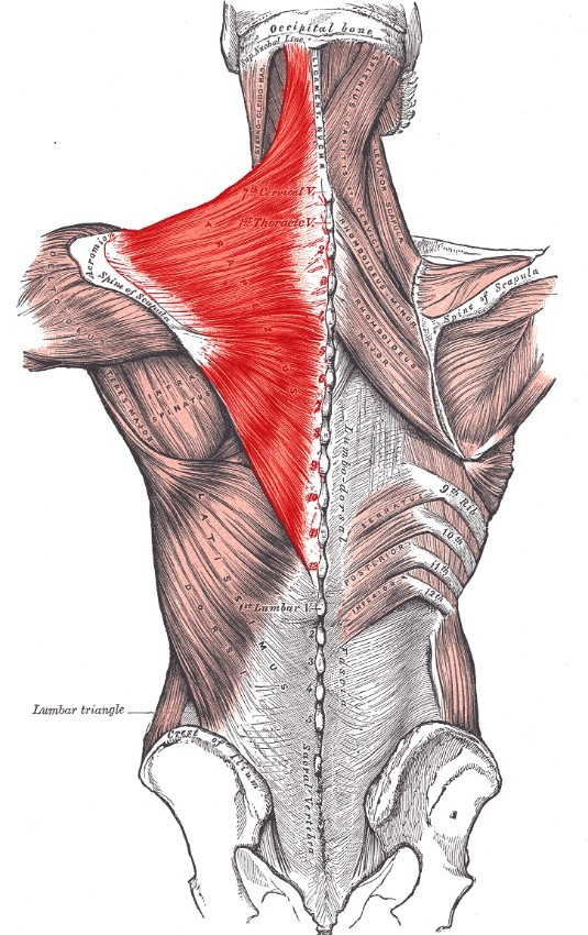 Trapezius is important for upper back