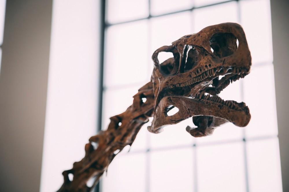 Dry Bones and Other Fossils - the skull and neck bones of a dinosaur in a museum photo by justyn-warner-571482-unsplash