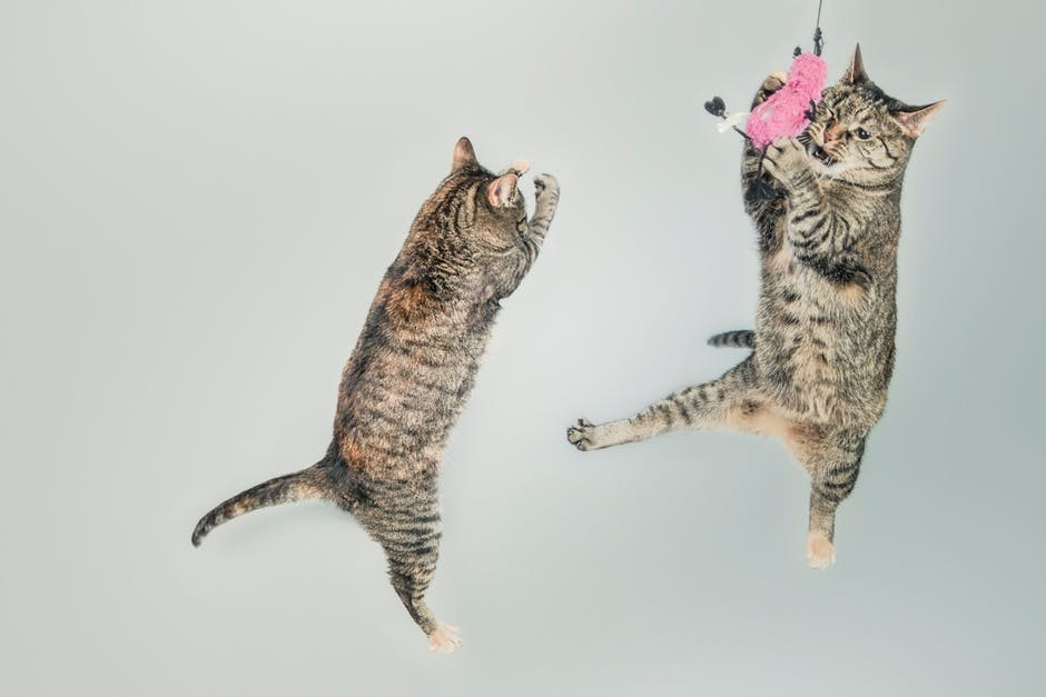2 gray cats jumping playfully