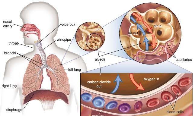 "<img src=""lung chart.jpg"" alt=""5 benefits of regular exercise""/>"