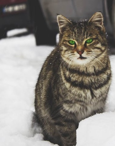 Tabby cat in snow