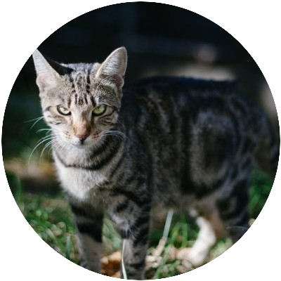picture of a tabby cat