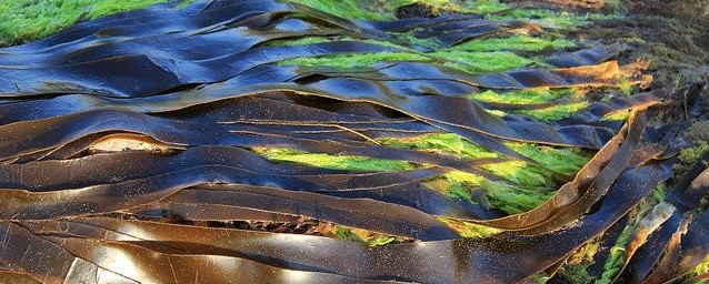 Drying kelp to become Kombu