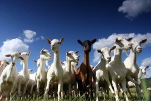 goats-in-pasture