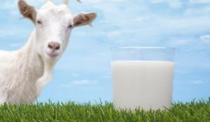 Goat and a glas of goat milk