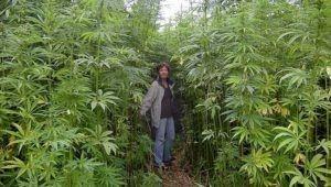 fiber hemp plantage