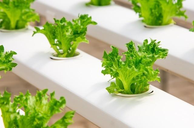 hydroponic vegetable