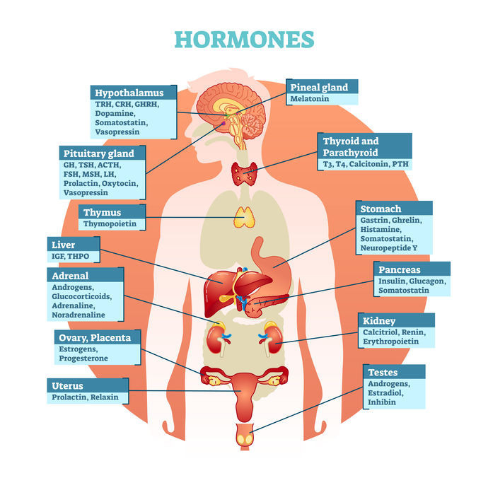 Hormones and What They Do